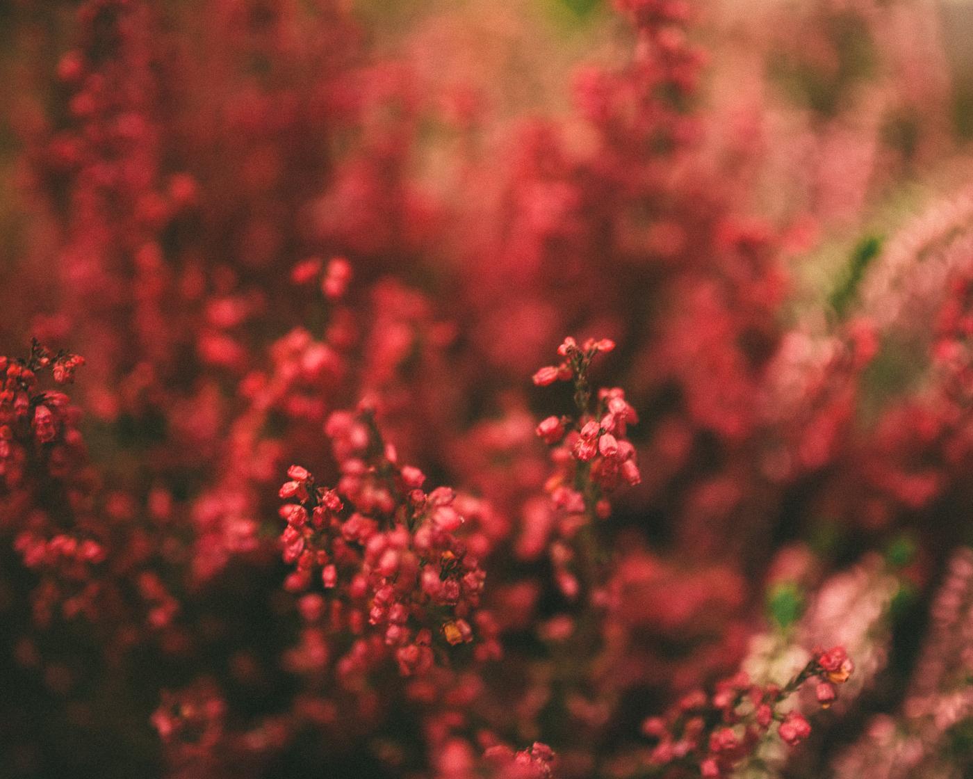 rote-blumen-makro-festbrennweite